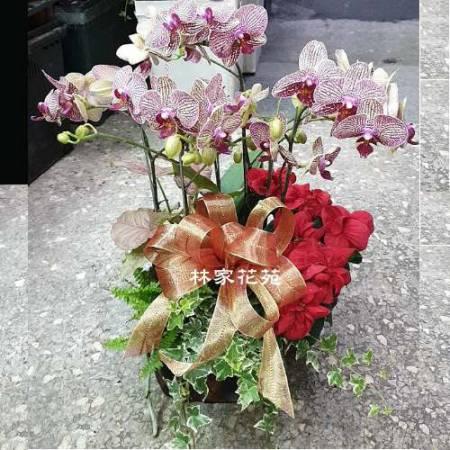 B025蝴蝶蘭組合盆栽開幕落成賀禮、喬遷、祝賀盆栽