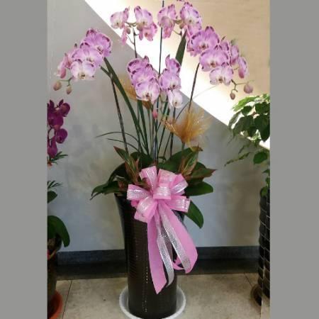 D008蘭花組合盆栽開幕喬遷,升遷榮調,室內景觀佈置花禮