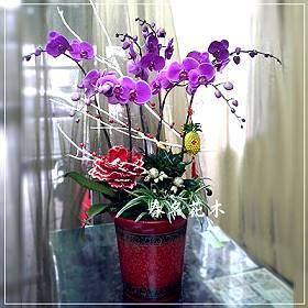 D027蘭花組合盆栽開幕喬遷,升遷榮調,室內景觀佈置花禮,居家佈置台中花店