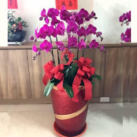 H092祝賀蘭花盆栽喜慶盆栽開幕喬遷蘭花盆栽