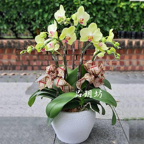 H093祝賀黃色蘭花盆栽喜慶盆栽開幕喬遷蘭花盆栽