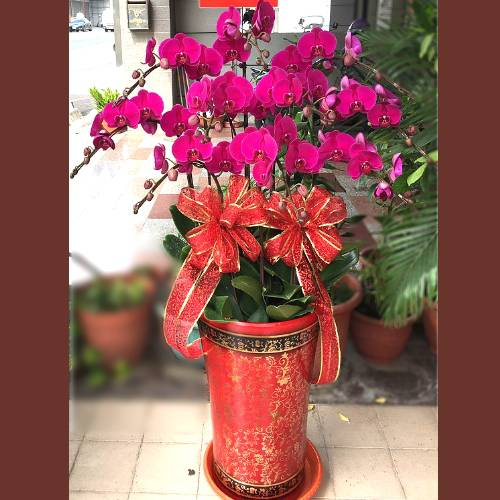 H099祝賀蘭花盆栽喜慶盆栽開幕喬遷蘭花盆栽