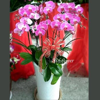 H014特級優雅蝴蝶蘭盆景台南市花店
