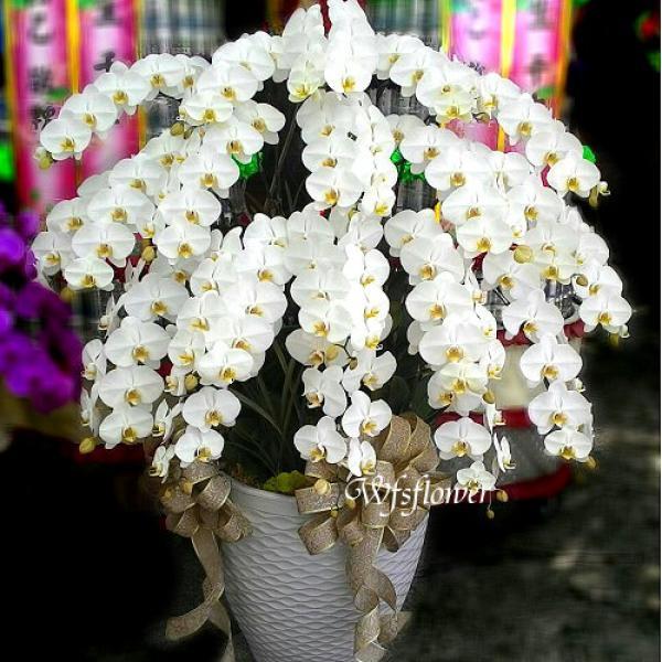 H025悼念追思花禮特級大白蝴蝶蘭台南市花店