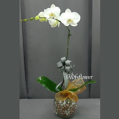 H084單株白蝴蝶蘭盆景居家擺飾台南市花店