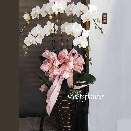 H013雅韻蝴蝶蘭盆景台南市花店