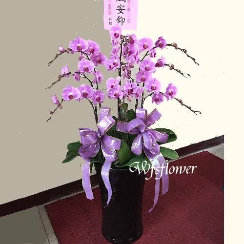 H028雅韻蝴蝶蘭盆景台南市花店