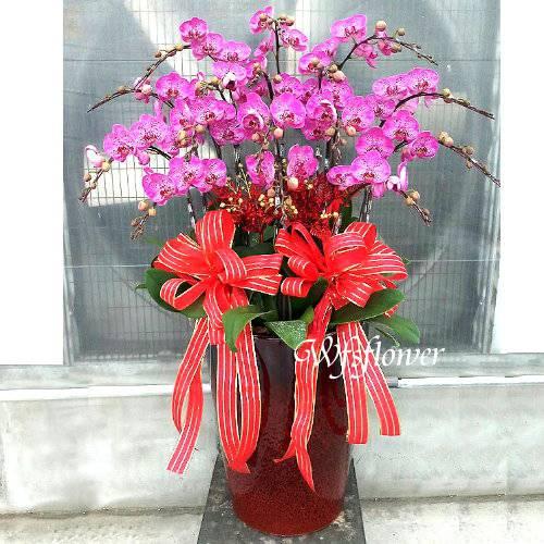 H029祝賀蘭花盆栽喜慶盆栽開幕喬遷蘭花盆栽