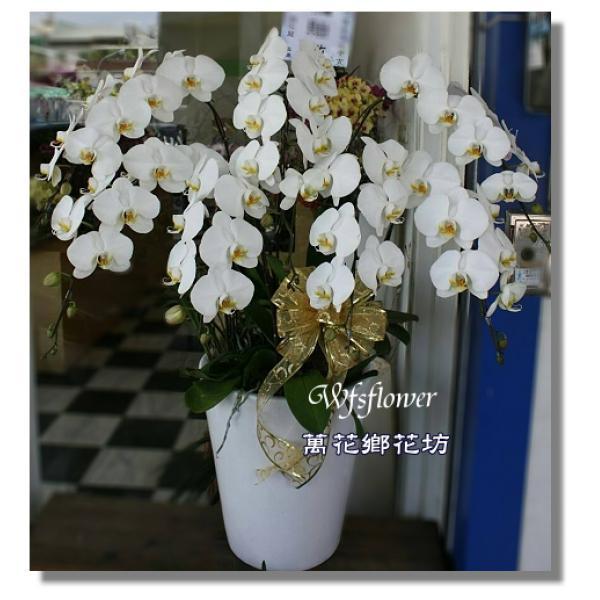 H006蝴蝶蘭組合盆景優雅蝴蝶蘭台南市花店