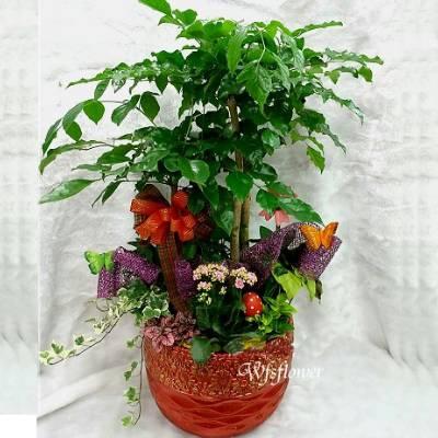 E013旺旺樹盆栽又名進財樹最新流行的招財樹台南市花店