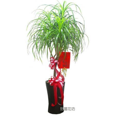 H022-龍血樹-高度1米9