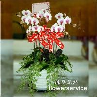 D002祝賀蘭花盆栽喜慶盆栽開幕喬遷蘭花盆栽