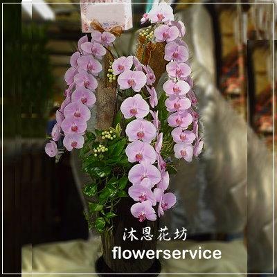 D003祝賀蘭花盆栽喜慶盆栽開幕喬遷蘭花盆栽