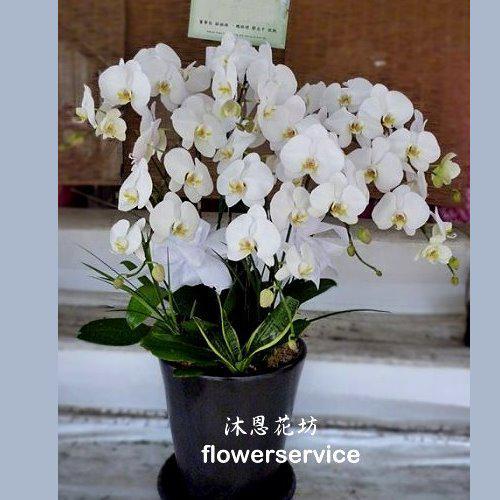 D004台高貴白色蘭花盆栽追思蘭花盆栽