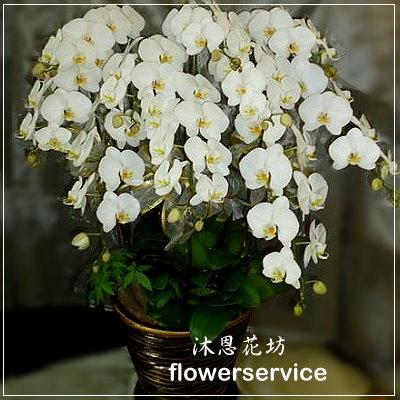 D007高貴白色蘭花盆栽追思蘭花盆栽