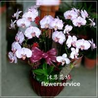 D009祝賀蘭花盆栽喜慶盆栽開幕喬遷蘭花盆栽