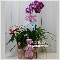 D092祝賀蘭花盆栽喜慶盆栽開幕喬遷蘭花盆栽