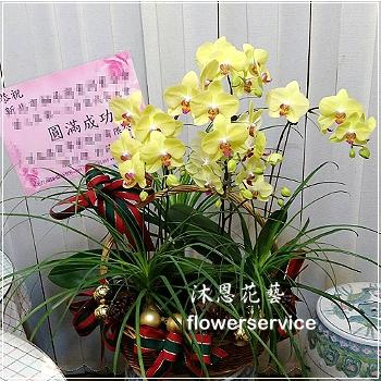 D093祝賀蘭花盆栽喜慶盆栽開幕喬遷蘭花盆栽