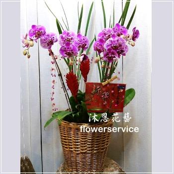 D095祝賀蘭花盆栽新春賀禮