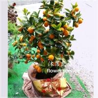 J051黃金葉蜜金桔新春賀禮