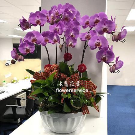 D106祝賀蘭花盆栽喜慶盆栽開幕喬遷蘭花盆栽