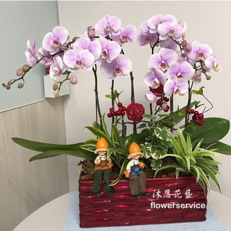 D107祝賀蘭花盆栽喜慶盆栽開幕喬遷蘭花盆栽