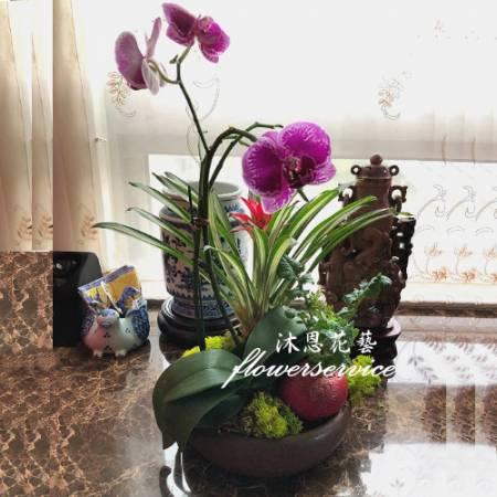 D141新春花禮祝賀蘭花盆栽喜慶盆栽開幕喬遷蘭花盆栽