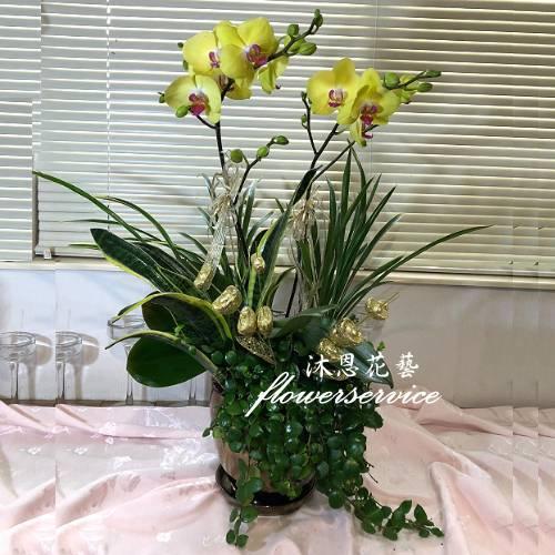 D145新春花禮祝賀蘭花盆栽喜慶盆栽開幕喬遷蘭花盆栽