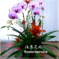 D029祝賀蘭花盆栽喜慶盆栽開幕喬遷蘭花盆栽