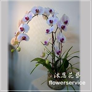 D034祝賀蘭花盆栽喜慶盆栽開幕喬遷蘭花盆栽