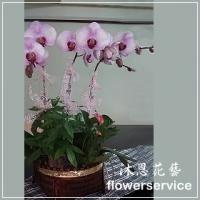 D047台北花店沐恩花藝祝賀蘭花盆栽喜慶盆栽開幕喬遷蘭花盆栽