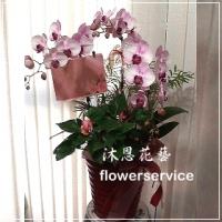 D051台北花店沐恩花藝祝賀蘭花盆栽喜慶盆栽開幕喬遷蘭花盆栽