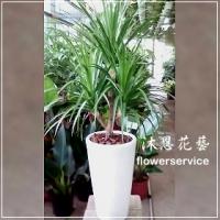 J026招財開運盆栽開幕榮陞喬遷龍血樹盆栽