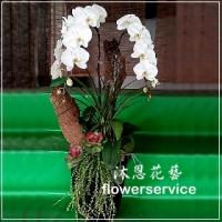 D053台北花店沐恩花藝祝賀蘭花盆栽喜慶盆栽開幕喬遷蘭花盆栽