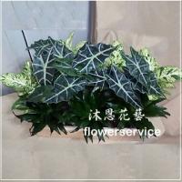 M037台北花店沐恩花藝祝賀盆花喜慶盆花開幕喬遷盆花