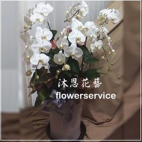 D065台北士林花店沐恩花藝高貴白色蘭花盆栽追思蘭花盆栽