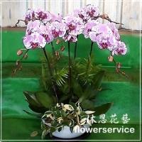 D068台北花店沐恩花藝祝賀蘭花盆栽喜慶盆栽8