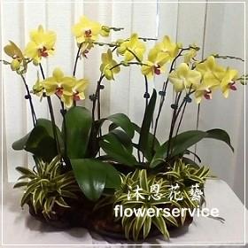 D067台北花店沐恩花藝祝賀蘭花盆栽喜慶盆栽