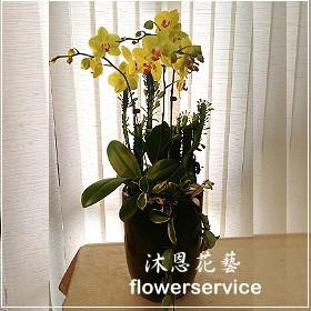 D073祝賀蘭花盆栽喜慶盆栽開幕喬遷蘭花盆栽