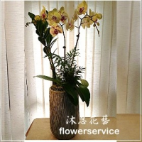 D075祝賀蘭花盆栽喜慶盆栽開幕喬遷蘭花盆