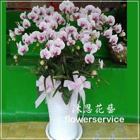 D076高貴白色蘭花盆栽追思蘭花盆栽