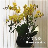 D079祝賀蘭花盆栽喜慶盆栽新春蘭花