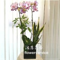 D081祝賀蘭花盆栽喜慶盆栽開幕喬遷蘭花盆栽