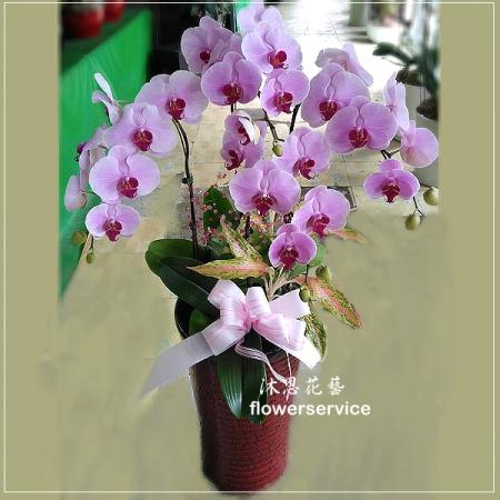 D084祝賀蘭花盆栽喜慶盆栽開幕喬遷蘭花盆栽
