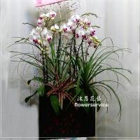 D087祝賀蘭花盆栽喜慶盆栽開幕喬遷蘭花盆栽