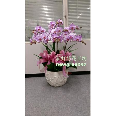 B027蘭花盆景高貴蘭花