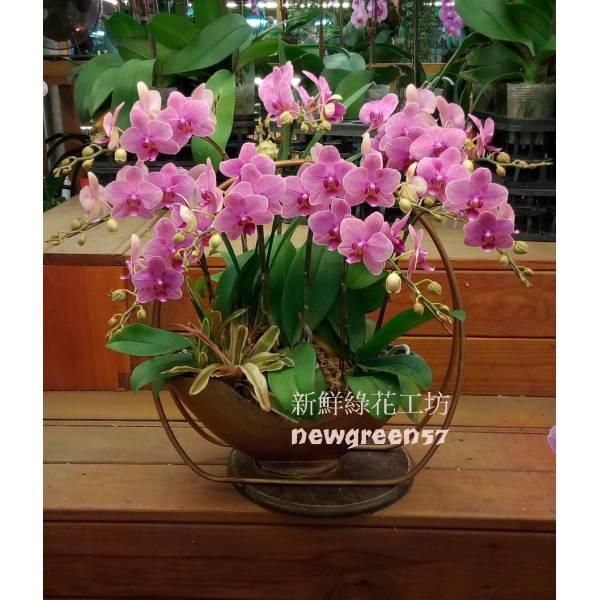 B042蝴蝶蘭組合盆栽開幕落成賀禮、喬遷、祝賀盆栽
