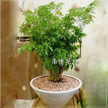 E002桌上型富貴樹喜慶組合盆栽,開幕喬遷組合盆栽