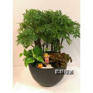 E015富貴樹(羽葉福祿桐)組合盆栽開幕盆栽