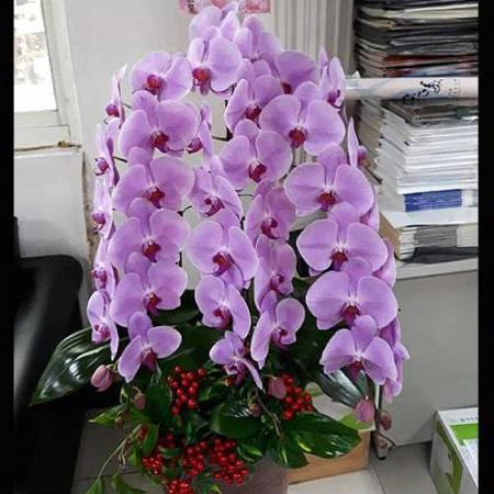B022蝴蝶蘭組合盆栽開幕落成賀禮、喬遷、祝賀盆栽